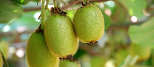 Golden Kiwifruit [growing in an orchard] Geof Wilson https://flic.kr/p/acMdBE CC BY-NC-ND 2.0 https://creativecommons.org/licenses/by-nc-nd/2.0/