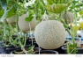 Fresh Melon or Cantaloupe fruit on  tree